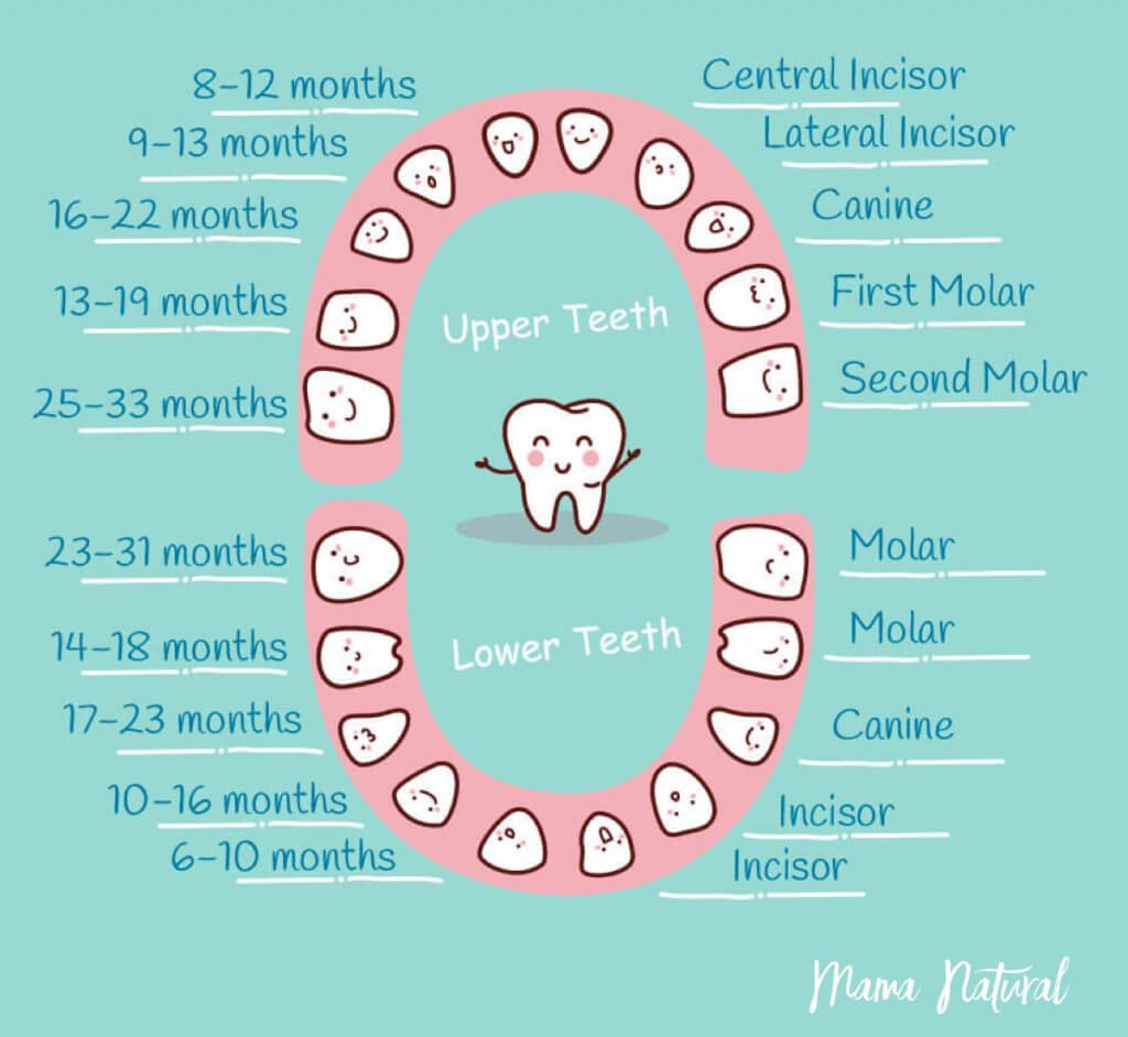 10 17 Baby Teeth Chart What Order Do They Come In By Mama Natural 1024 942